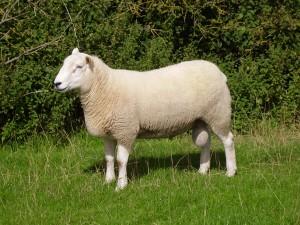 #SheepUK