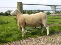 Arthritis & Joint-ill in lambs