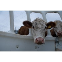 A Practical Approach to Minerals & Vitamins in Beef Cattle