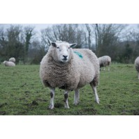 Sheep Health Information