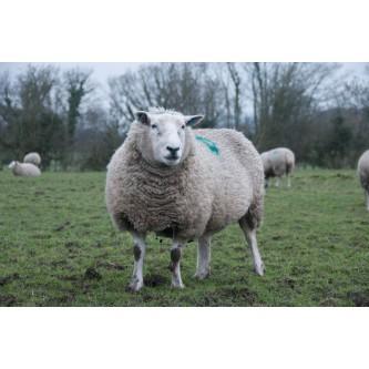 Sheep Health Information