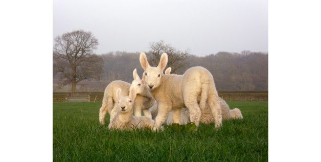 Summerfields Border Leicesters use First Thirst Super-Lamb Colostrum