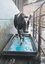 Vet's View: Footbathing to help control digital dermatitis