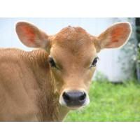 4 Myths about Pasteurisation of Colostrum & Calf Milk