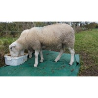 Latest Research in to Sheep Lameness