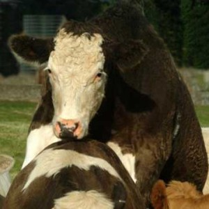 Cows Showing Standing Heat during Pregnancy