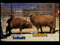 Cobalt Deficiency in Sheep & Cattle